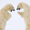 Download male bears sparring canada wallpapers, male bears sparring canada wallpapers Free Wallpaper download for Desktop, PC, Laptop. male bears sparring canada wallpapers HD Wallpapers, High Definition Quality Wallpapers of male bears sparring canada wallpapers.