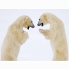 Male Bears Sparring Canada Wallpapers