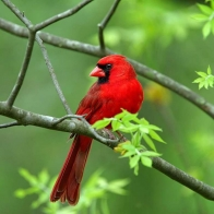 Male Cardinal Hd Wallpapers New 6