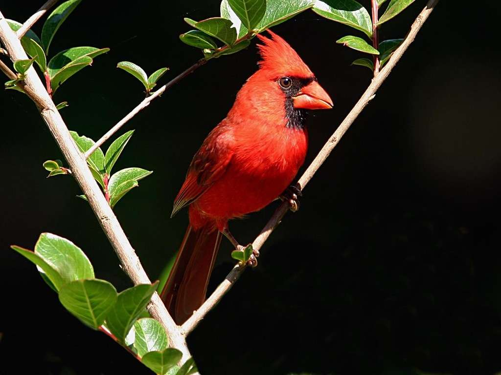 Male Cardinal Hd Wallpapers : Hd Wallpapers