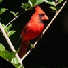 Download male cardinal hd wallpapers, male cardinal hd wallpapers Free Wallpaper download for Desktop, PC, Laptop. male cardinal hd wallpapers HD Wallpapers, High Definition Quality Wallpapers of male cardinal hd wallpapers.