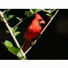 Male Cardinal Hd Wallpapers