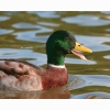 Male Mallard Quacking Hd Wallpapers