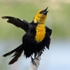 Download male yellow headed blackbird hd wallpapers, male yellow headed blackbird hd wallpapers Free Wallpaper download for Desktop, PC, Laptop. male yellow headed blackbird hd wallpapers HD Wallpapers, High Definition Quality Wallpapers of male yellow headed blackbird hd wallpapers.