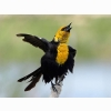 Male Yellow Headed Blackbird Hd Wallpapers