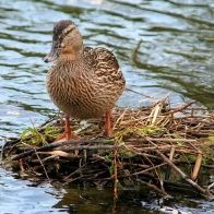 Mallard On Nest Hd Wallpapers