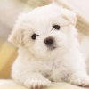 Download maltese puppy wallpapers, maltese puppy wallpapers Free Wallpaper download for Desktop, PC, Laptop. maltese puppy wallpapers HD Wallpapers, High Definition Quality Wallpapers of maltese puppy wallpapers.