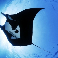 Manta Ray Sea Creature Wallpapers