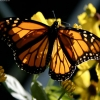 Download monarch wallpapers, monarch wallpapers Free Wallpaper download for Desktop, PC, Laptop. monarch wallpapers HD Wallpapers, High Definition Quality Wallpapers of monarch wallpapers.