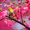 Download mountain cherry bird wallpapers, mountain cherry bird wallpapers Free Wallpaper download for Desktop, PC, Laptop. mountain cherry bird wallpapers HD Wallpapers, High Definition Quality Wallpapers of mountain cherry bird wallpapers.