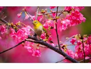 Mountain Cherry Bird Wallpapers