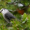 Download mountain gray jay hd wallpapers, mountain gray jay hd wallpapers Free Wallpaper download for Desktop, PC, Laptop. mountain gray jay hd wallpapers HD Wallpapers, High Definition Quality Wallpapers of mountain gray jay hd wallpapers.