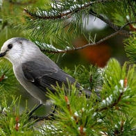 Mountain Gray Jay Hd Wallpapers
