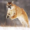Download mountain lion wallpapers, mountain lion wallpapers Free Wallpaper download for Desktop, PC, Laptop. mountain lion wallpapers HD Wallpapers, High Definition Quality Wallpapers of mountain lion wallpapers.