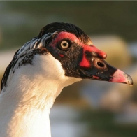 Muscovy Duck Hd Wallpapers