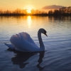 Download mute swan wallpapers, mute swan wallpapers Free Wallpaper download for Desktop, PC, Laptop. mute swan wallpapers HD Wallpapers, High Definition Quality Wallpapers of mute swan wallpapers.