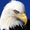 Download noble lead bald eagle wallpapers, noble lead bald eagle wallpapers Free Wallpaper download for Desktop, PC, Laptop. noble lead bald eagle wallpapers HD Wallpapers, High Definition Quality Wallpapers of noble lead bald eagle wallpapers.