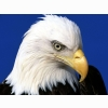 Noble Lead Bald Eagle Wallpapers