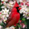 Download northern cardinal wallpapers, northern cardinal wallpapers Free Wallpaper download for Desktop, PC, Laptop. northern cardinal wallpapers HD Wallpapers, High Definition Quality Wallpapers of northern cardinal wallpapers.
