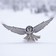 Northern Hawk Finland Wallpapers