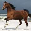 Download norwegian beach warmblood wallpapers, norwegian beach warmblood wallpapers Free Wallpaper download for Desktop, PC, Laptop. norwegian beach warmblood wallpapers HD Wallpapers, High Definition Quality Wallpapers of norwegian beach warmblood wallpapers.