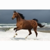 Norwegian Beach Warmblood Wallpapers