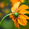 Download orange daisy, orange daisy  Wallpaper download for Desktop, PC, Laptop. orange daisy HD Wallpapers, High Definition Quality Wallpapers of orange daisy.