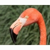 Orange Flamingo Head Beak Hd Wallpapers
