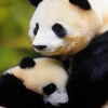 Download pandas cover, pandas cover  Wallpaper download for Desktop, PC, Laptop. pandas cover HD Wallpapers, High Definition Quality Wallpapers of pandas cover.