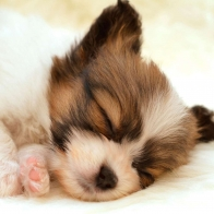 Papillon Puppy Wallpapers