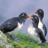 Parakeet Auklets Hd Wallpapers
