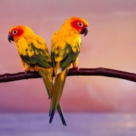 Parrot Pair Wallpapers