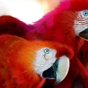Download parrots widescreen wallpapers, parrots widescreen wallpapers Free Wallpaper download for Desktop, PC, Laptop. parrots widescreen wallpapers HD Wallpapers, High Definition Quality Wallpapers of parrots widescreen wallpapers.