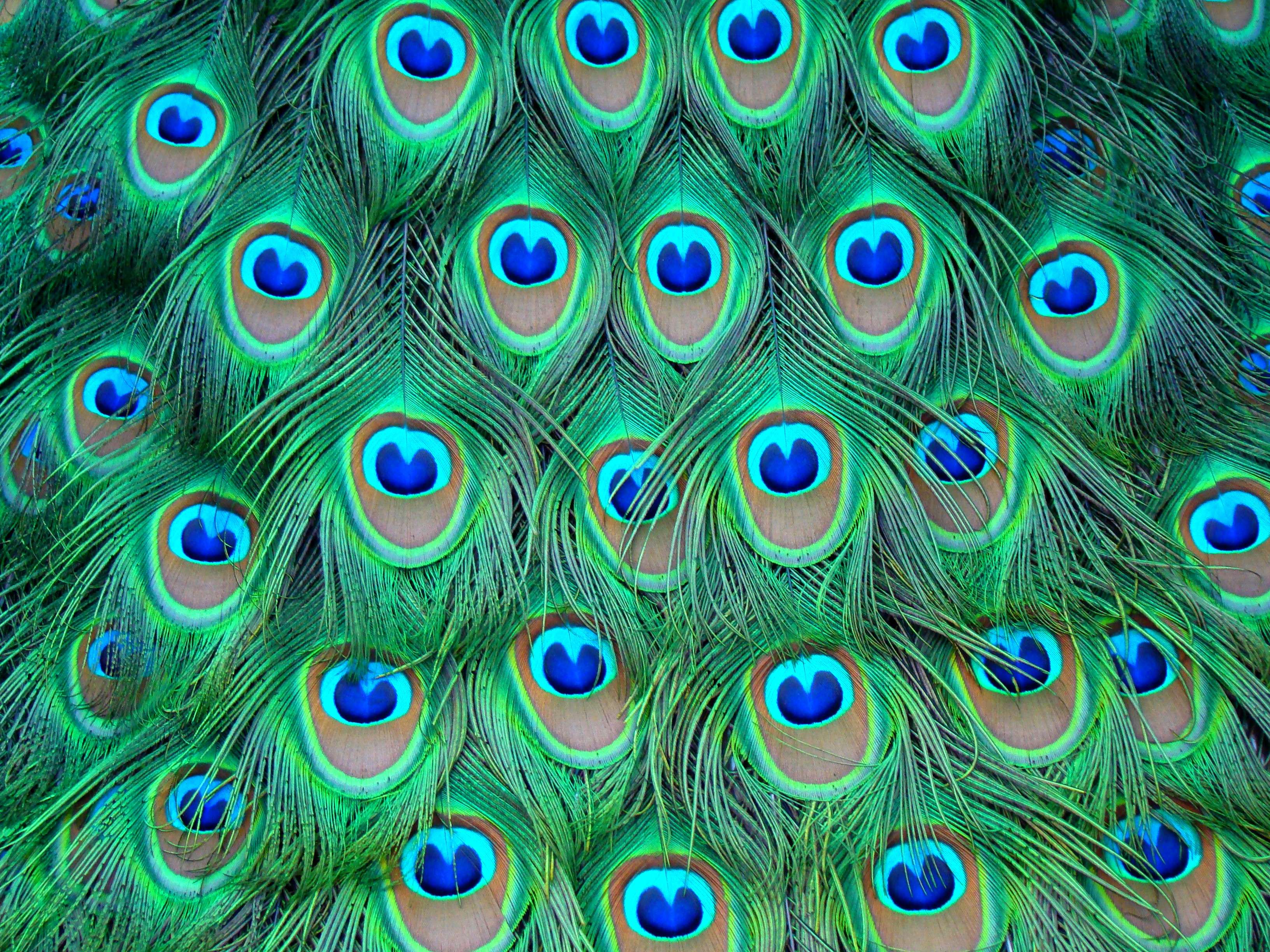 Peacock Art Design 41 Hd Wallpapers Hd Wallpapers