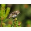 Pine Siskin Hd Wallpapers New 7