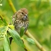 Download pine siskin hd wallpapers, pine siskin hd wallpapers Free Wallpaper download for Desktop, PC, Laptop. pine siskin hd wallpapers HD Wallpapers, High Definition Quality Wallpapers of pine siskin hd wallpapers.