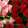 Download pink amp red roses bouquet, pink amp red roses bouquet  Wallpaper download for Desktop, PC, Laptop. pink amp red roses bouquet HD Wallpapers, High Definition Quality Wallpapers of pink amp red roses bouquet.