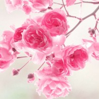 Pink Roses Flowers Wallpaper