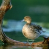 Download pintail hen hd wallpapers, pintail hen hd wallpapers Free Wallpaper download for Desktop, PC, Laptop. pintail hen hd wallpapers HD Wallpapers, High Definition Quality Wallpapers of pintail hen hd wallpapers.