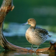 Pintail Hen Hd Wallpapers