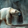 Download polar bear wallpapers, polar bear wallpapers Free Wallpaper download for Desktop, PC, Laptop. polar bear wallpapers HD Wallpapers, High Definition Quality Wallpapers of polar bear wallpapers.