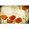 Poppies Flowers Vinatge Wallpaper