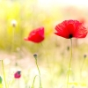 Download poppy flowers, poppy flowers  Wallpaper download for Desktop, PC, Laptop. poppy flowers HD Wallpapers, High Definition Quality Wallpapers of poppy flowers.
