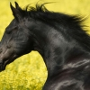 Download portrait of a friesian wallpapers, portrait of a friesian wallpapers Free Wallpaper download for Desktop, PC, Laptop. portrait of a friesian wallpapers HD Wallpapers, High Definition Quality Wallpapers of portrait of a friesian wallpapers.