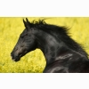 Portrait Of A Friesian Wallpapers