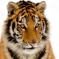 Portrait Of A Tiger Wallpapers