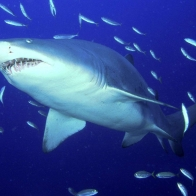 Predator Sand Tiger Shark Wallpapers