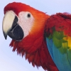 Download profile of a scarlet macaw wallpapers, profile of a scarlet macaw wallpapers Free Wallpaper download for Desktop, PC, Laptop. profile of a scarlet macaw wallpapers HD Wallpapers, High Definition Quality Wallpapers of profile of a scarlet macaw wallpapers.