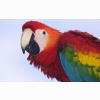 Profile Of A Scarlet Macaw Wallpapers