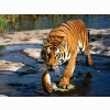 Prowler Bengal Tiger Wallpapers
